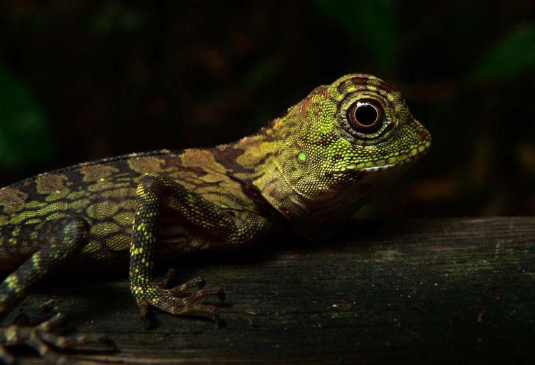 ボルネオモリドラゴン