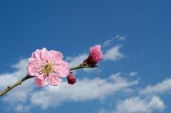 """青空に浮かび上がった桜の花"""""""