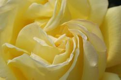 黄色いバラ 須磨離宮公園