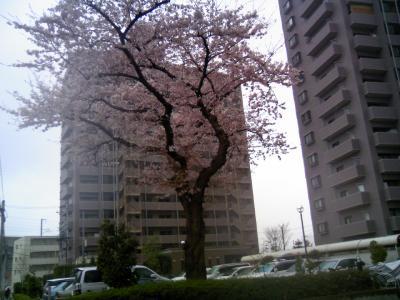 0804sakura01.jpg