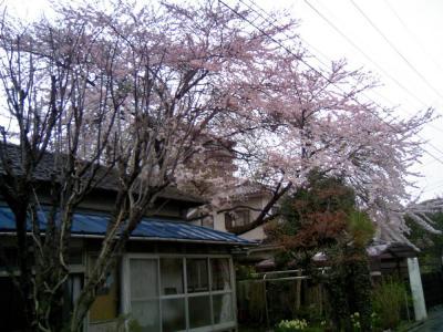 0804sakura030.jpg