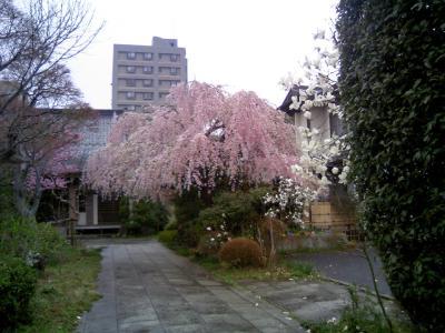 0804sakura04.jpg