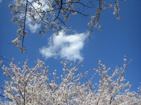 080401 空と桜と雲