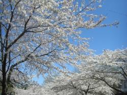 080401 桜