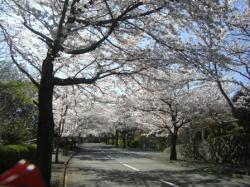 080401 桜トンネル2