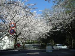 080401 桜トンネル4