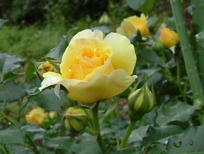 rose-y.jpg