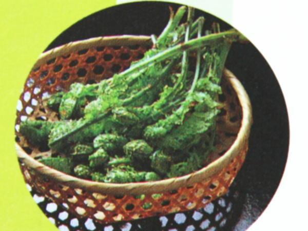 北海道の山菜コゴミ(こごみ・クサソテツ)