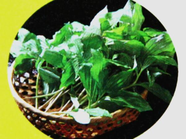 北海道の山菜アヅキナ(あづきな・ユキザサ)