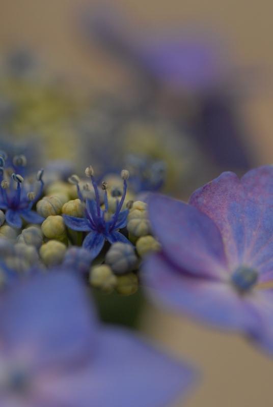 紫陽花・・・2