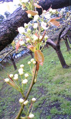 咲きはじめの梨の花