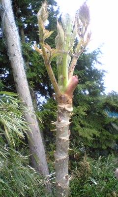 大きくなったタラの芽