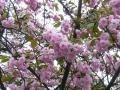 八重桜(中)