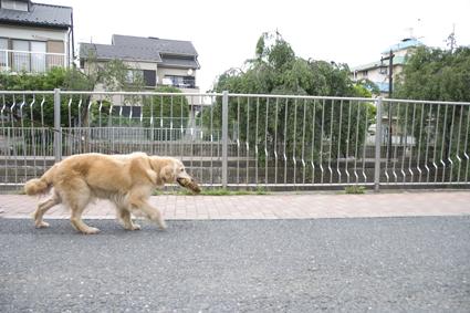 散歩中のローラ