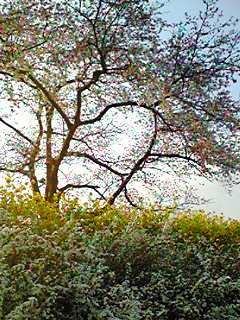 080326kawazoinosakuratonanohana.jpg