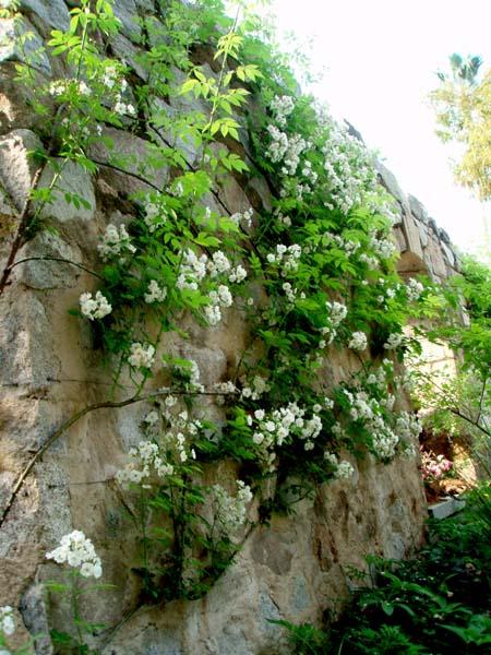 石の壁のバラ