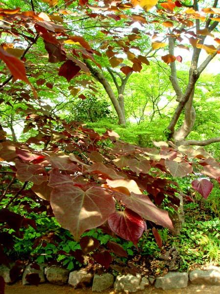 カラーリーフの木