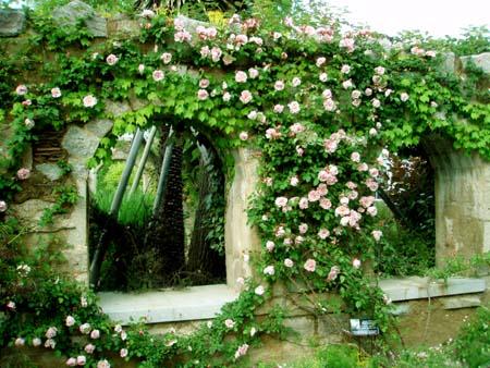 ピンクのバラの壁