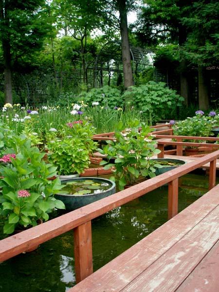 お池のハナショウブたち