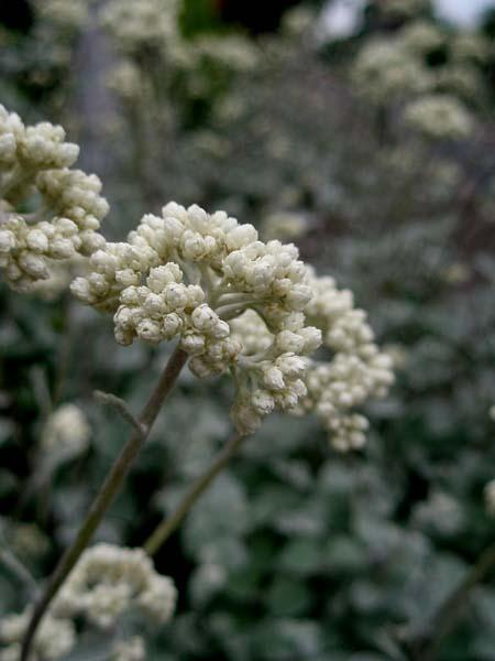 ヘリクリサム花