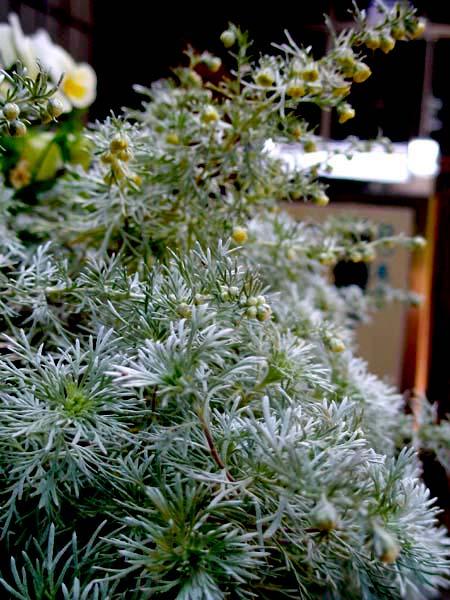アサギリソウの花