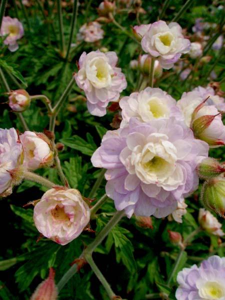 薄ピンクの花