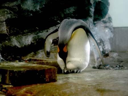 たまごを温めるペンギン