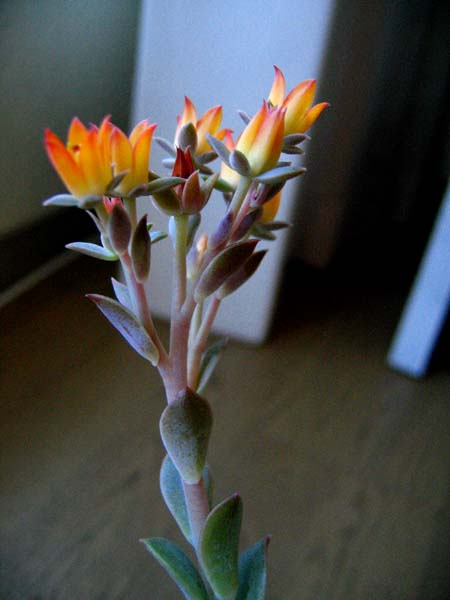 ファンクイーン花
