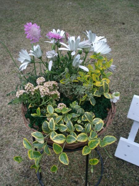 オステオ、スカピオサなどの寄せ植え