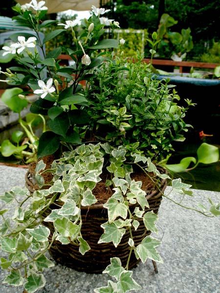 夏のミニ寄せ植え3