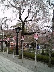 2007.3.28 三島大社 桜