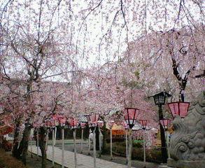 2006.3.28 三島大社 桜