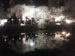 三島大社 桜