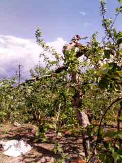 晴天の中花を摘み終わったりんごの木(PHS画像)