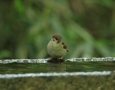 スズメ幼鳥1