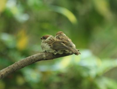 スズメ幼鳥2