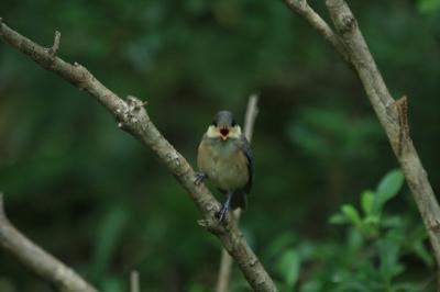 ヤマガラ幼鳥2
