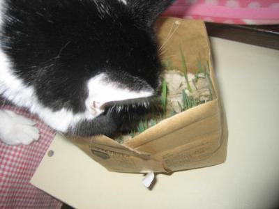 ちょびさんからの猫草2