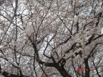 4月9日オリニデコンウォンの桜