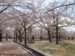 満開の桜 in慶州