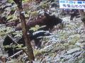 オオタカ営巣地(東西線工事予定地)のツキノワグマ