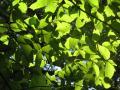 イヌブナの葉
