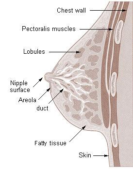 Illu_breast_anatomy.jpg