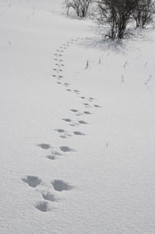 08302霧ヶ峰ウサギ