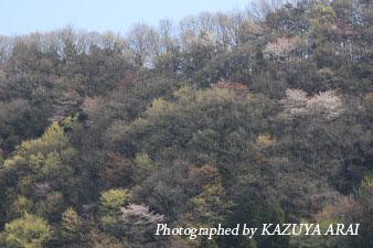 080406yamazakura1.jpg