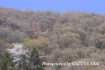 080406yamazakura3.jpg