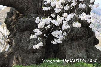 080412yamatakajinndaizakura.jpg