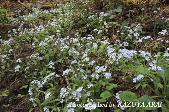 080422takaosan_yamarurisou.jpg
