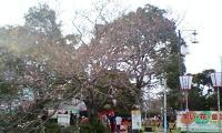 切戸川の桜(まだ咲きはじめ)