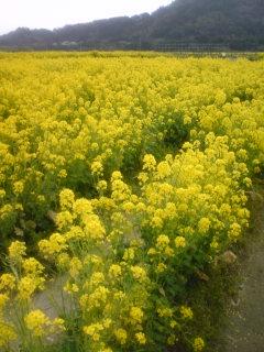 080317_房総 菜の花畑